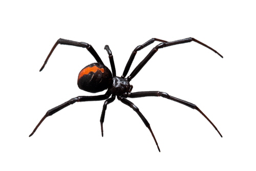Latrodectus is a genus of spiders  in the family Therididae, commonly know as widow spiders