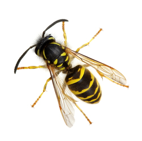 A wasp is any insect of the order Hymenoptera and suborder Apocrita that is neither a bee nor an ant. The most commonly known wasps, such as yellow jackets and hornets, are in the family Vespidae.