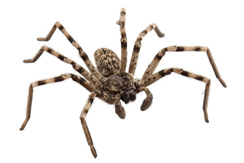 Wolf spiders are members of the family Lycosidae. They have excellent eyesight and are agile hunters.